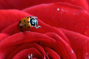 A ladybug on a petal of a rose